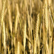 Golden wheat field — Stock Photo #2519787