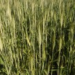 Stock Photo: Grain field