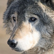 Wolfy — Stock Photo #2003777