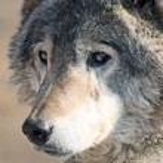 wolfy — ストック写真