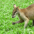 Kangaroo — Stock Photo #2004229