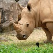 Rhino — Stock Photo #2004239