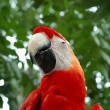 Royalty-Free Stock Photo: Red parrot