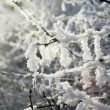 Snowy branch — Photo