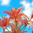 Red lily — Stock Photo #2005062