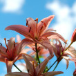 Lilly — Stockfoto