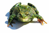 Frog isolated — Stock Photo