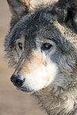 Wolfy — Stock Photo