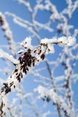 Berry on snowy branch — Stock Photo
