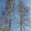 Birch in snow — Stock Photo #2014404