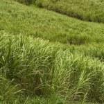 Sugar cane field — Stock Photo