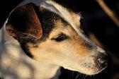 Hund - jack russell — Stockfoto