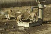 Wild monkey in India — Stock Photo