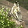 Wild monkey in India - Stock Photo