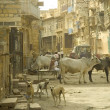 Holy cow in Indian street — Stock Photo