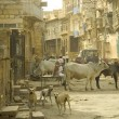 Stock Photo: Holy cow in Indian street