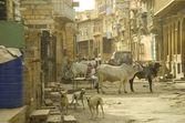 Holy cow in Indian street — 图库照片