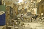 Svatá kráva v indické ulici — Stock fotografie