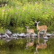 Whitetail Deer Doe And Fawn — Stock Photo #1885935