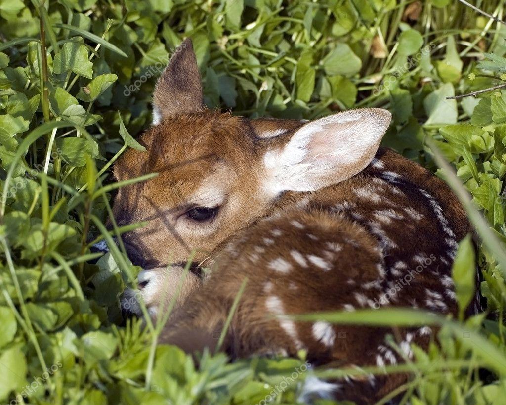 A whitetail newborn fawn Newborn Deer Size