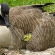 Canada Goose (Branta canadensis) — Stock Photo #1922363