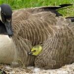 Canada Goose (Branta canadensis) — Stock Photo