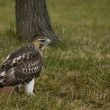 Red-tailed Hawk (Buteo jamaicensis) — Stock Photo #1922471