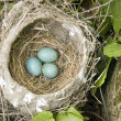 Robin Nest With Eggs — Stock Photo
