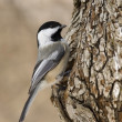 Black-capped Chickadee — Stock Photo