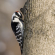 Downy Woodpecker (Picoides pubescens) — Stock Photo