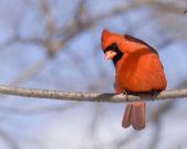 Cardinal (Cardinalis cardinalis) — Stock Photo
