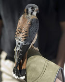 American Kestrel (Falco sparverius) — Stock Photo