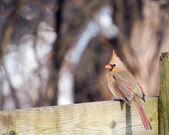 Female Northern Cardinal — Stock Photo