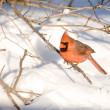 Northern Cardindal — Stock Photo