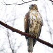 Red-Tailed Hawk — Stock Photo #1972623