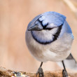 Blue Jay — Stock Photo