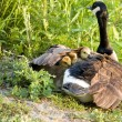 Stock Photo: CanadGoose Chicks