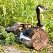 Canada Goose Chicks - Stock Photo