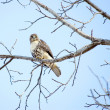 Red-tailed Hawk — Stock Photo