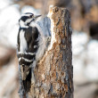 Stock Photo: Downy Woodpecker