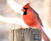 Northern Cardinal — Stock Photo