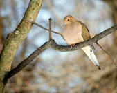 Mourning Dove — Stock Photo