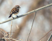 American Tree Sparrow On Branch — Stock Photo