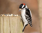 Male Downy Woodpecker — Stock Photo