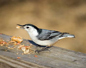 White-Breasted Nuthatch — Stock Photo