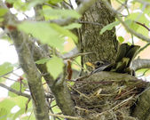 Nesting American Robin — Stock Photo