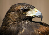 A close-up head shot of a buzzard. — Stock Photo