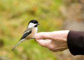 Chickadee In Hand — Stock Photo