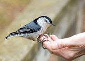 Nuthatch In Hand — Stock Photo