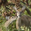 Stock Photo: Whitetail Doe With Fawn